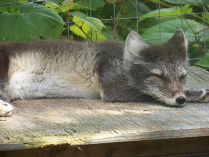 The arctic fox at the Ecomuseum in Ste. Anne de Bellevue.