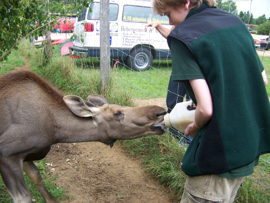 Trevor feeds 14-week-old moose Destine.