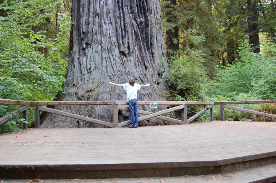 Tree-hugger Trev is stymied by Big Tree along the Redwood Highway.