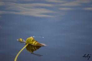 Oka dragonfly's shadow