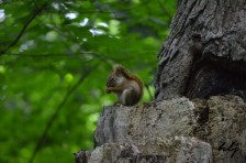 Oka park squirrel