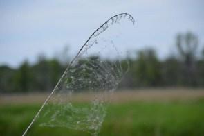Marguerite dYouville spiderweb