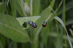 Marguerite dYouville love bugs