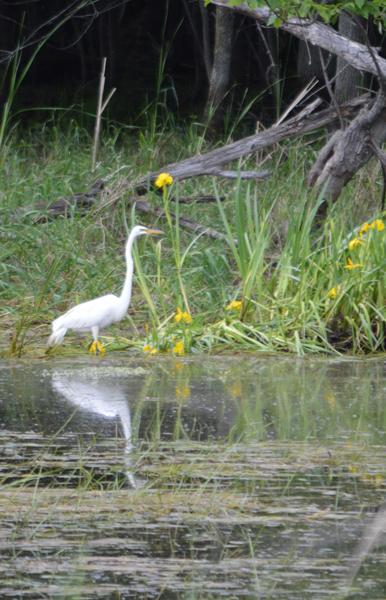 Marguerite dYouville egret