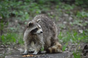 Marguerite dYouville hungry raccoon