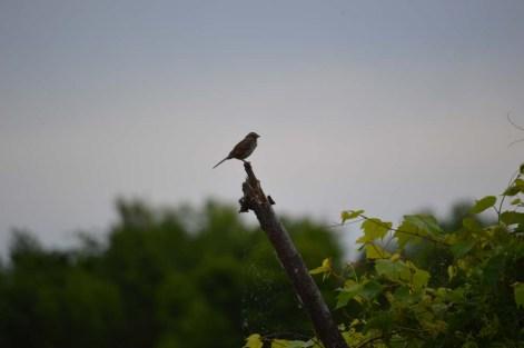 Marguerite dYouville bird silouette
