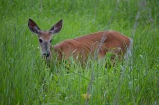 Marguerite dYouville deer