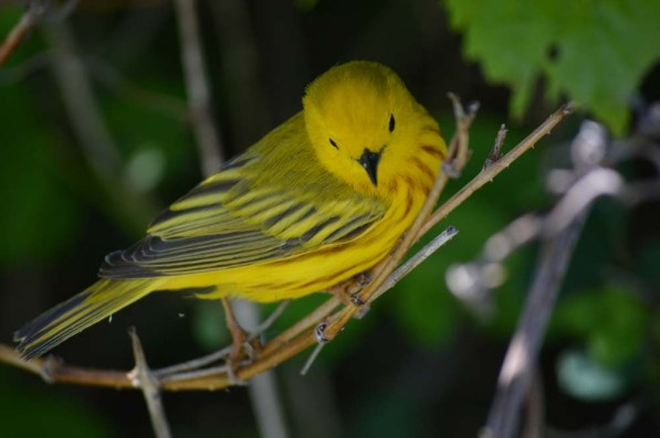 A round of applause for Sandy, who tells me this is a yellow warbler.