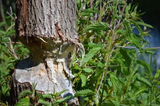 Marguerite dYouville beaver tree