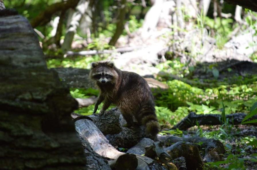 Marguerite dYouville raccoon