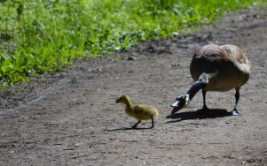 Marguerite dYouville goose and gosling