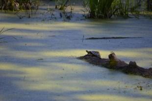 Marguerite dYouville turtle