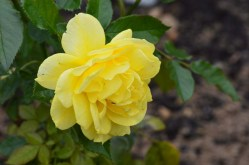 One of the not-neglected beauties in the International Rose Garden of Ile Ste. Helene.
