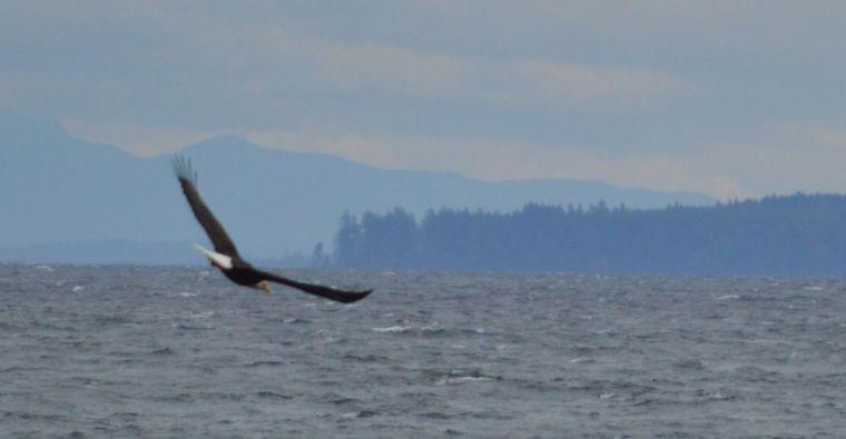 eagle fort rupert bc21