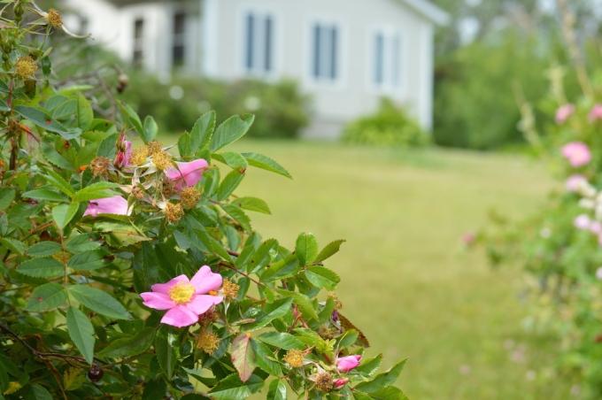 amherst shore nova scotia roses